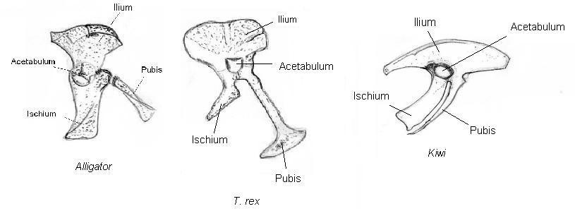 The Pelvis Fins To Feet