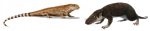 Much of this series will be concerned with 'bridging' some of the phylogenetic distance that separates the pelycosaur Haptodus (left, by Nobu Tamura) from the early mammal Morganucodon (right, by Michael B. H.).