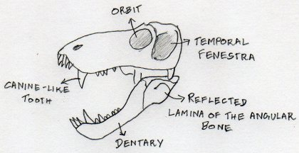 Some general features of the Therapsid skull.